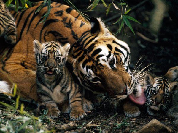 mom-tiger-licking-cub_27537_600x450
