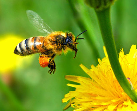 european-honey-bee-080826