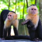 http://www.dreamstime.com/stock-photo-spider-monkeys-costa-rica-image16624240