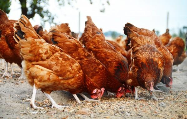 Турция сообщила о первой за 7 лет вспышке  птичьего гриппа