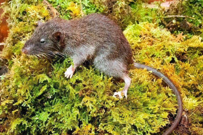 Slender root rat