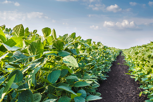 z_0001_Soybean-Field-000044266334_Large