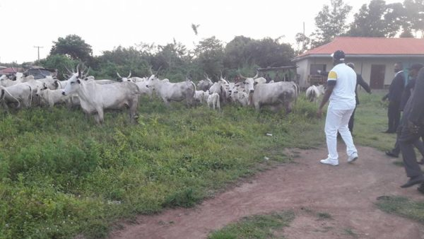 Arrest of Cow in Ekiti2