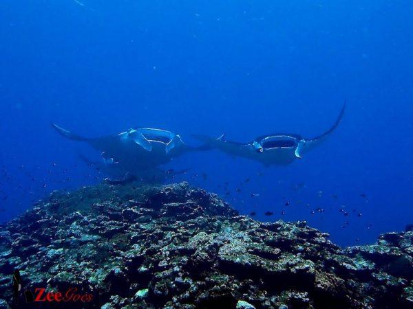 diving_manta_ishigaki