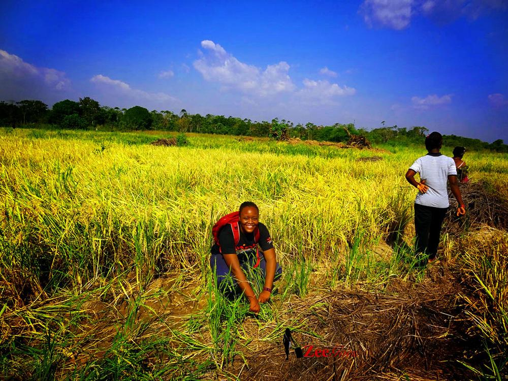 Nigeria becomes Africa's largest producer of Rice - BellaNaija